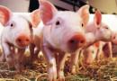 Собственикът на свинекомплекса в Българско Сливово заведе дело срещу Агенцията по безопасност на храните