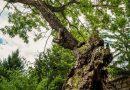 """Петвековен дъб в Ново село с номинация в националния конкурс """"Дърво с корен"""""""