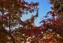 """Японският клен в парк """"Майка България"""" привлича с червения си цвят и туристи, и търновци"""