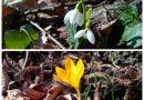Заради необичайно топлото време кокичета и минзухари вече цъфнаха в района на Ксилифор