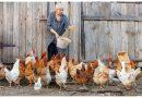 Хайпро ООД организира безплатна ваксинация на птиците на територията на Павликени, с цел превенция на разпространението на Нюкясълската болест