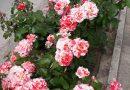 Разкошни майски рози красят алеята до местността Паметниците край Свищов