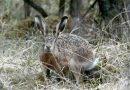 Разследват стрелба по див заек в землището на Камен