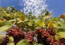 Очертава се добра реколта от грозде в Лясковско, но ниските изкупни цени не оставят печалба за лозарите