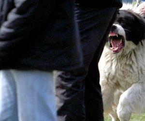Каракачанска овчарка едва не откъсна ръката на стопанина си