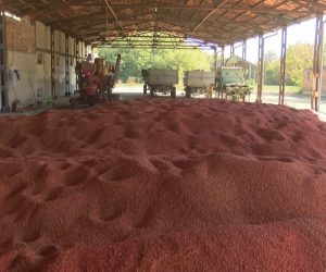 Есенната сеитба във Великотърновска област закъсня, цената на слънчогледа удари рекорд от 1100 лева за тон